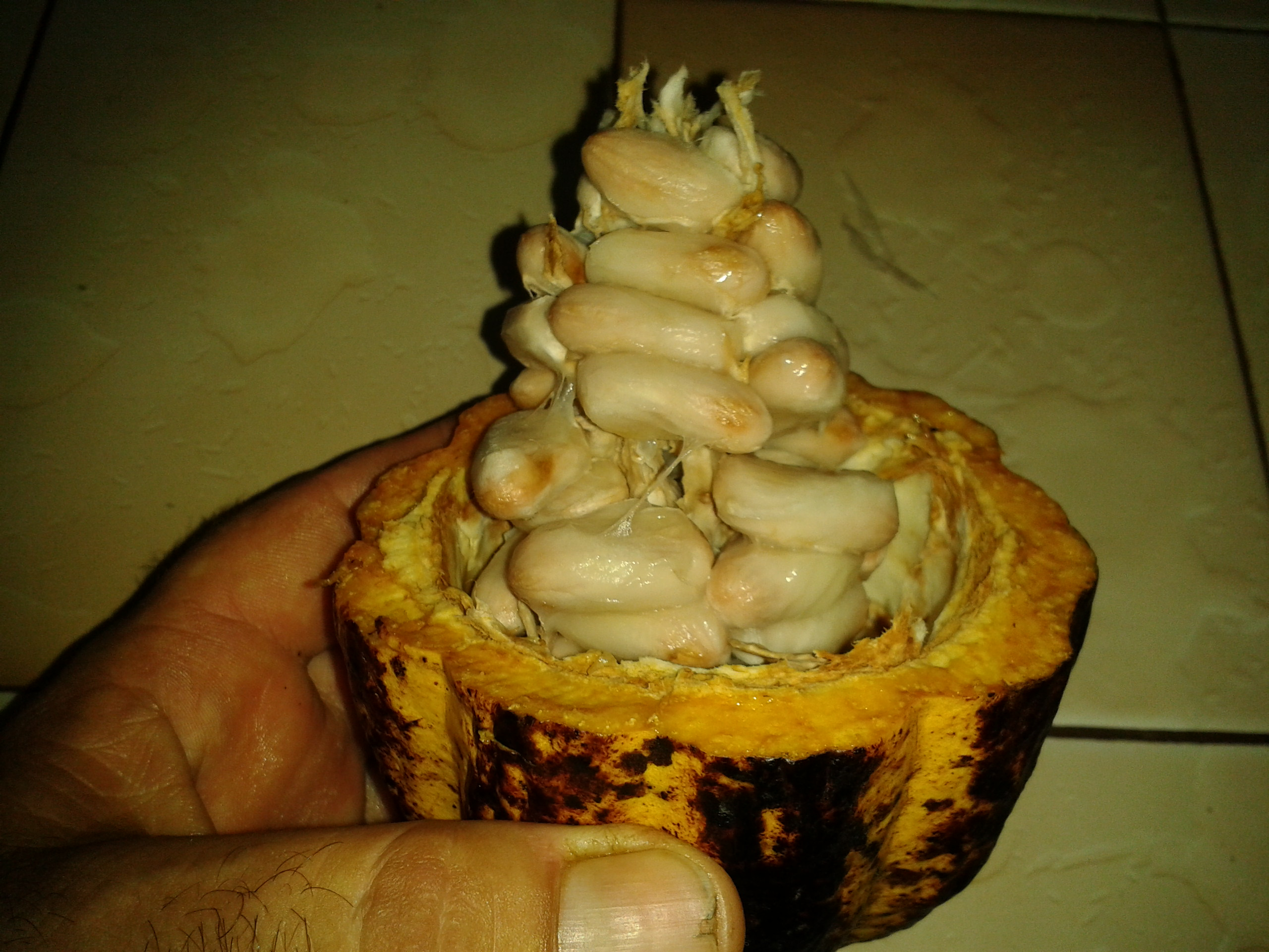 Extraction de la fève de cacao