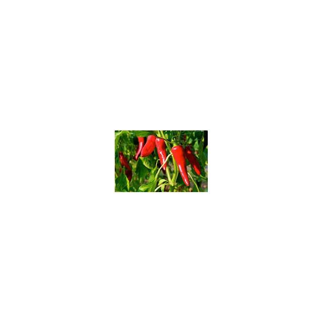 Piments FORT en poudre, pot 20 grammes. Image du plant de piment frais.