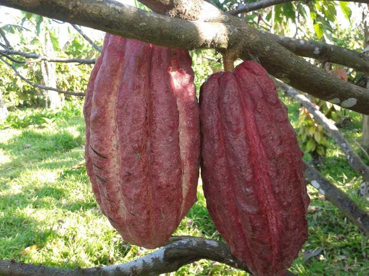 Cabosse de cacao coque rouge
