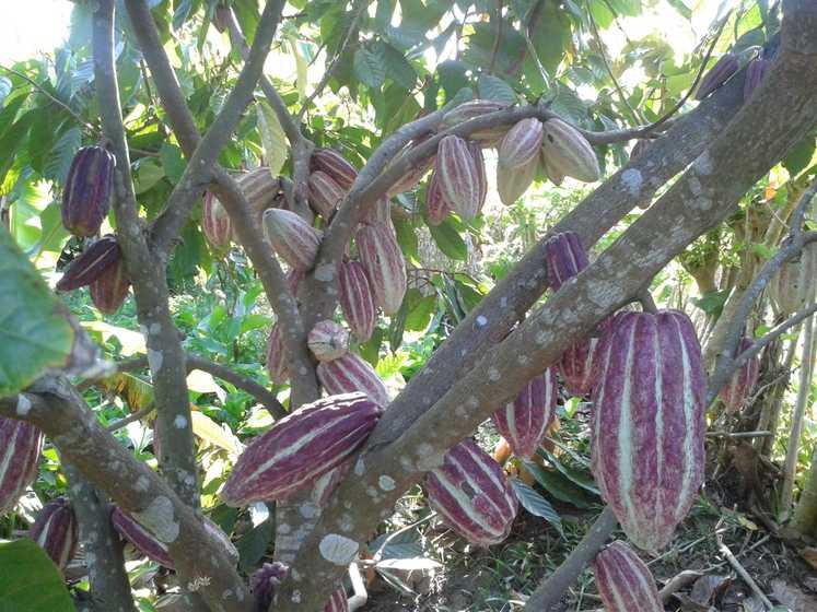 Petite Cabosses de cacao