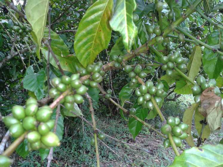 Plan de café vert